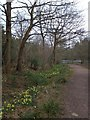 SO6727 : Footpath with wild daffodils by the lake in Queen's Wood by David Smith