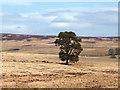 NY5807 : The lone Scots pine above Stakeley Beck by Karl and Ali