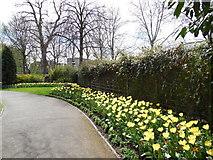 TQ2782 : Daffodils in St John's Wood Church grounds by Paul Gillett