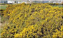 J4972 : Whin bushes, Newtownards (2) by Albert Bridge