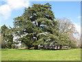 NS5420 : Cedar at Dumfries House by M J Richardson