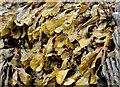 J4682 : Seaweed, Crawfordsburn (2013-1) by Albert Bridge