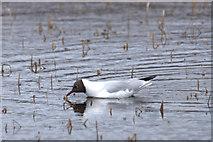 HP6312 : Black-headed Gull (Chroicocephalus ridibundus), Haroldswick pool by Mike Pennington