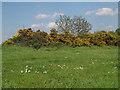 TQ3977 : Gorse on Blackheath by Stephen Craven