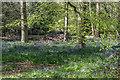 TQ2897 : English Bluebells, Trent Park, Cockfosters by Christine Matthews