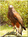 SD5705 : Harris Hawk by David Dixon