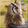 SD5705 : Southern White-Faced Scops Owl by David Dixon