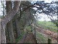 SJ2533 : Pine trees on Offa's Dyke by John Haynes