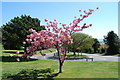 SU6706 : Tree in blossom in Troon Crescent by Barry Shimmon