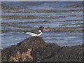 SH3368 : Oystercatcher at Porth Cwyfan by Ian Paterson