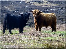 NM3541 : Two Highland Bulls by Rude Health
