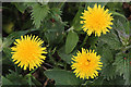 NT7277 : Dandelions at Barns Ness by Walter Baxter