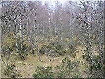 NH9817 : Birch wood, Abernethy Forest by Richard Webb
