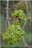 TL7835 : Young Leaves, Castle Hedingham, Colne Valley, Essex by Christine Matthews