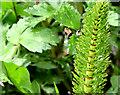 J3278 : Great horsetail fern, Belfast Castle by Albert Bridge