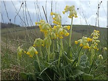 SK1462 : Cowslips by the Tissington Trail by Andrew Hill