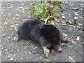 TL5494 : Mole near Welney Wetlands Visitors Centre by Richard Humphrey