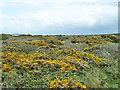 SW7051 : Gorse heath, St Agnes Head by Robin Webster