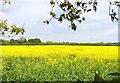 SZ1598 : Rape Seed Field by Mike Smith