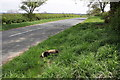 SE3589 : Road-kill badger beside Warlaby to Newby Wiske road by Roger Templeman