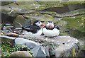 NU2135 : Awww .... two puffins, sweet nuffin's .... by Barbara Carr