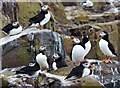 NU2135 : Puffins on Inner Farne by Barbara Carr