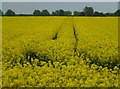 TL2580 : Rapeseed crop in full flower by Richard Humphrey