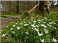 NS4288 : Wood Anemone by Lairich Rig