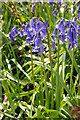 SO9245 : Bluebells, Tiddesley Wood by Philip Halling