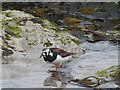 HU3618 : Turnstone at Bay of Scousburgh by Oliver Dixon