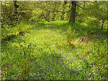 NH5857 : Bluebells in the oakwood by Julian Paren