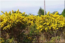 M7102 : Roadside gorse, near Woodford, Co. Galway by P L Chadwick