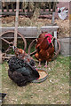 TL0914 : Chickens at the Hertfordshire Show 2013 by Christine Matthews