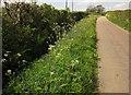 ST1901 : Bluebells on verge, Cleverhayes Lane by Derek Harper