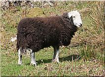 NY2101 : Herdwick Ewe by Anne Burgess