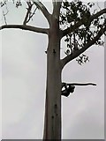 NG5536 : Second sighting of Raasay Koala (Phascolarctos Cinereus Ratharsair) by Gordon Brown