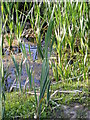 TM3674 : Bulrushes in the River Blyth by Adrian Cable