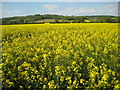 SO9437 : Oil seed rape field, Kemerton by Philip Halling