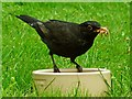 SO1107 : Blackbird with mealworms by Robin Drayton