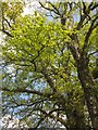 ST2304 : Oak tree near Hornshayes Knap Cross by Derek Harper