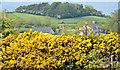 J4480 : Whin bushes, Ballydavey near Bangor by Albert Bridge