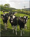 ST2900 : Bullocks, Greatwood Farm by Derek Harper