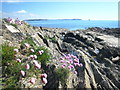 SW7928 : Sea pinks on the rocky foreshore at Bream Cove by Rod Allday