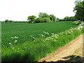 TM4193 : Wheat crop beside Boot's Lane by Evelyn Simak