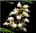 J4078 : Horse chestnut flowers, Holywood by Albert Bridge