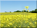 SU0018 : Sixpenny Handley: rapeseed on Garston Down by Chris Downer