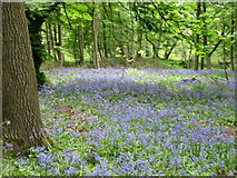 NY5164 : Bluebells at Sandysike by David Purchase