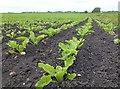 TL5584 : Young sugar beet crop on Wood Fen by Richard Humphrey