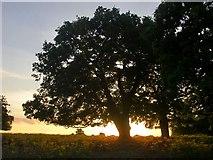TQ2173 : Oaks seen against the evening sky by Stefan Czapski