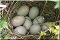 NO7883 : Mallard's Nest by Anne Burgess